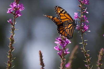 Monarch Butterfly Art Print by Michel DesRoches