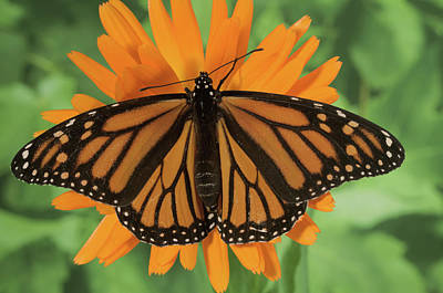 Patterns In Nature Photograph - Monarch Butterfly by Nancy Nehring