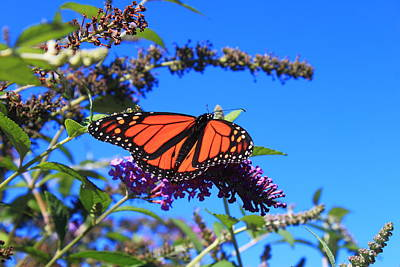 Photograph - Monarch Butterfly On Butterfly Weed by John Burk