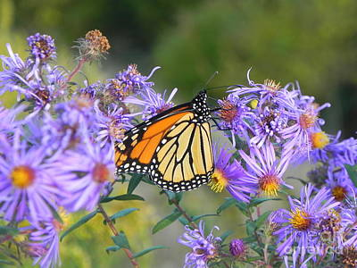 Sandy Owens Photograph - Monarch Butterfly On Flower by Sandy Owens