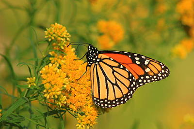 Photograph - Monarch Butterfly On Goldenrod by John Burk