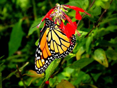 Art Print featuring the photograph Monarch Butterfly On Red Flowers by Jodi Terracina