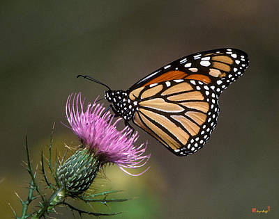 Photograph - Monarch Butterfly On Thistle 13a by Gerry Gantt