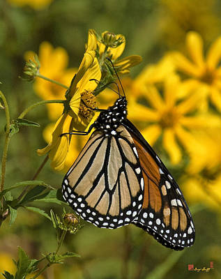 Photograph - Monarch Butterfly On Tickseed Sunflower Din146 by Gerry Gantt