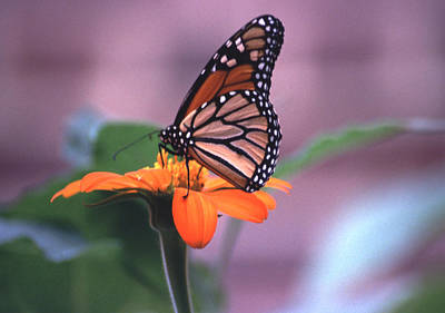Art Print featuring the photograph Monarch Butterfly On Tithonia Sunflower by Tom Wurl
