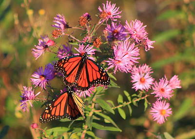 Photograph - Monarch Butterfly Pair On Asters by John Burk
