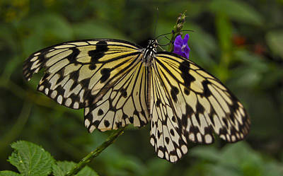 Photograph - Monarch Butterfly by Peggie Strachan