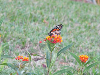 Photograph - Monarch Butterfly by RobLew Photography