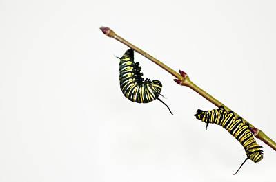 Caterpillar Photograph - Monarch Caterpillar by Jim McKinley