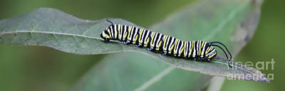Photograph - Monarch Caterpillar by Randy Bodkins