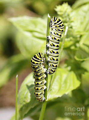 Monarch Caterpillars Print by Denise Pohl