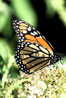 Photograph - Monarch Colors by Margie Avellino