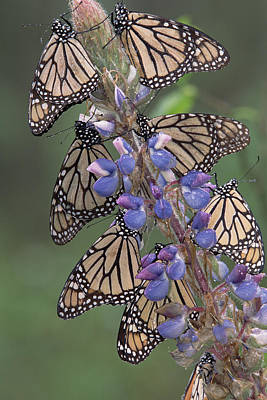 Photograph - Monarch Danaus Plexippus Butterflies by Tim Fitzharris