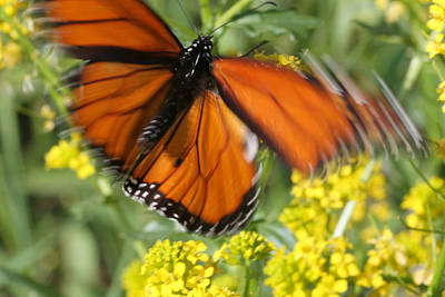Photograph - Monarch In Motion by Mark J Seefeldt
