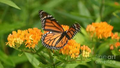 Monarch In Motion Art Print