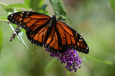 Photograph - Monarch In Summer by Ann Bridges