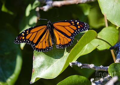 Arbres Verts Photograph - Monarch by Nicole  Cloutier Photographie Evolution Photography