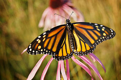 Photograph - Monarch Of The Meadow by Bill Pevlor