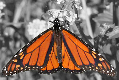 Photograph - Monarch On Black And White by Mark J Seefeldt