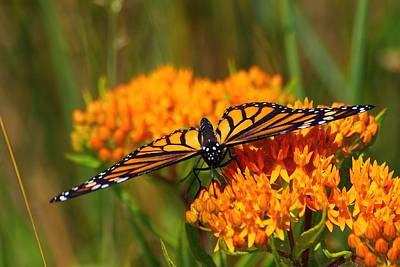 Photograph - Monarch On Butterfly Weed by Scott Hovind