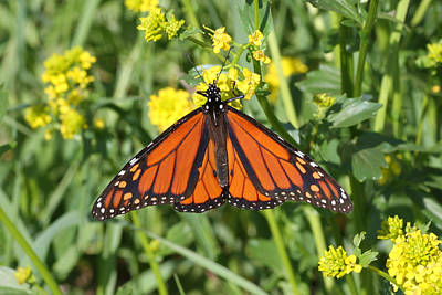 Photograph - Monarch On Green And Yellow by Mark J Seefeldt