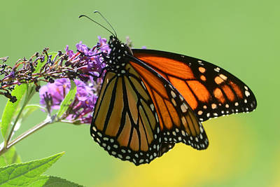 Photograph - Monarch On Green by Ann Bridges