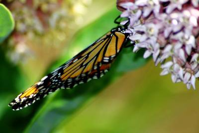 Photograph - Monarch On Milkweed 1 by Scott Hovind