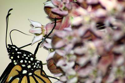 Photograph - Monarch On Milkweed 2 by Scott Hovind