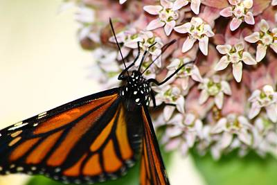 Photograph - Monarch On Milkweed 4 by Scott Hovind