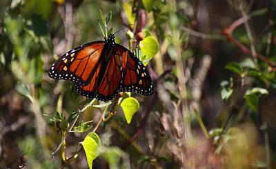 Photograph - Monarch Orange Beauty by Roena King