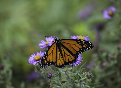 Photograph - Monarch by Richard Lee