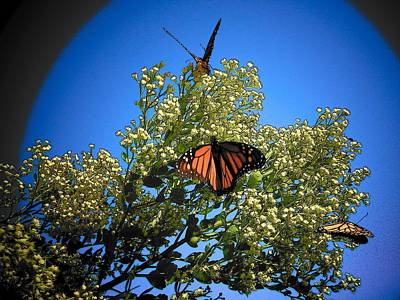 Photograph - Monarch Show by Sheri McLeroy