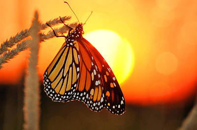 Monarch Sunset Art Print