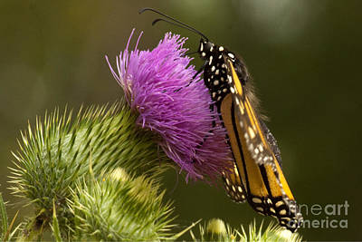 Monarch Thistle Munching Art Print by Darleen Stry