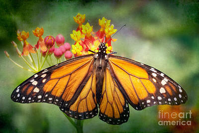 Virginia Butterfly Photograph - Monarch Three by Susan Isakson