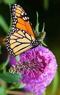 Photograph - Monarchs Delight by Bruce Bley