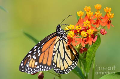 Monarchs Polka Dots Art Print by Kathy Gibbons