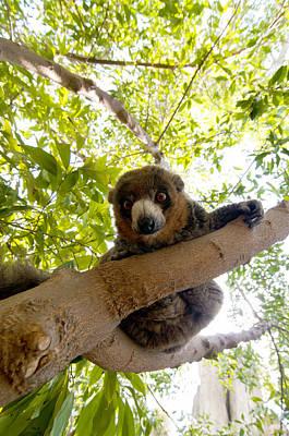 Lemur Photograph - Mongoose Lemur by Fabrizio Troiani