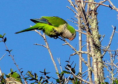 Photograph - Monk Parakeet by T Guy Spencer