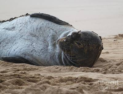 Photograph - Monk Seal Napping by Terri Thompson