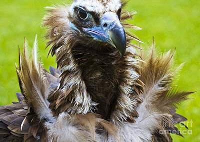 Vulture Photograph - Monk Vulture 4 by Heiko Koehrer-Wagner