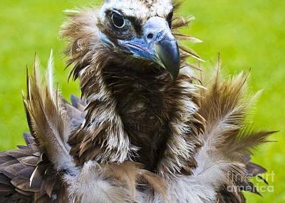 Sheep - Monk Vulture 4 by Heiko Koehrer-Wagner