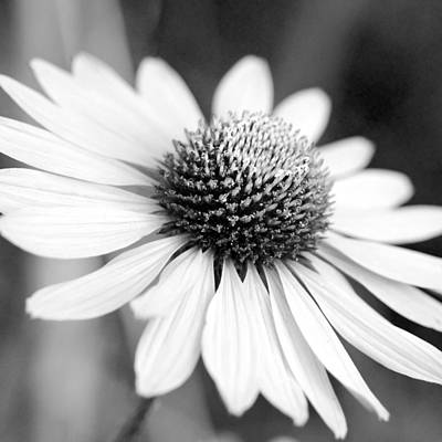 Photograph - Monochrome Echinacea by Margaret Pitcher