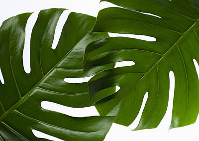 Y120831 Photograph - Monstera Leaves by sozaijiten/Datacraft