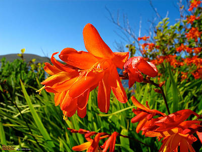 Portmagee Wall Art - Photograph - Montbretia by Andres Hurtado