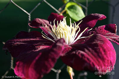 Photograph - Monte Casino Clematis by Susan Herber