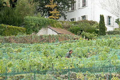 Photograph - Montmartre Vineyard by Fabrizio Ruggeri