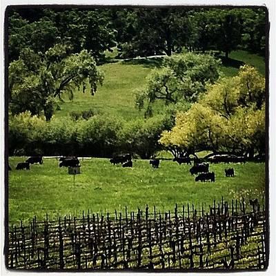 Vineyard Wall Art - Photograph - Moo? #cows #cattle #freerange #beef by Caitlin Schmitt