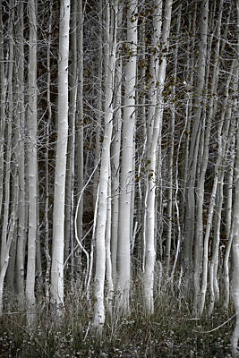 Photograph - Moody Aspen Tree Trunks by John Stephens