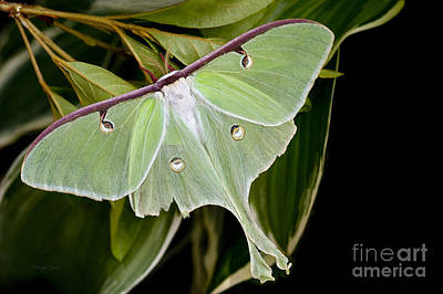 Photograph - Moon Moth by Cheryl Davis